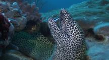 Honeycomb Moray Cleaned By Cleaner Wrasse
