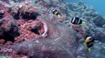 Porcelain Crabs And Anemone Fish On Anemone