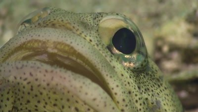 Finespotted jawfish very close