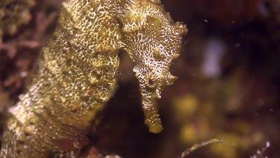 Pacific seahorse portrait