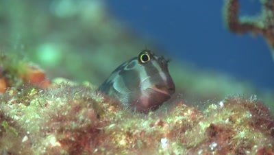 Panamic fanged blenny portrait