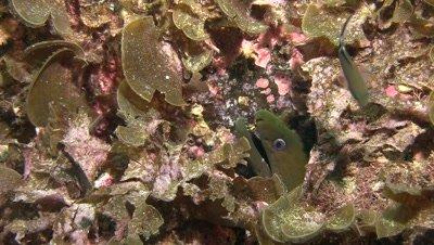 Panamic green moray portrait
