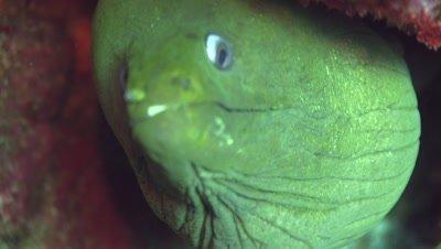 Panamic green moray pharyngeal teeth focus