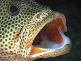 Cleaning Shrimp Inside Mouth Of Grouper (Sea Bass)