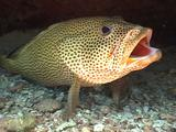 Grouper (Sea Bass) On Cleaning Station With Goby And Shrimp