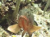 Caribbean Grouper Close-Up