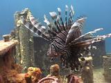 Lionfish In Bahamas Shipwreck