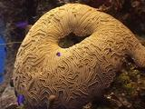 Brain Coral With Group Of Blackcap Basslet (Gramma)