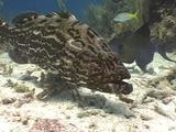 Large Black Grouper Close-Up