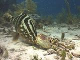 Large Black Grouper And Nassau Grouper Fight For Lobster