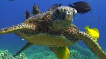 Close Up Of Green Turtle Face At Cleaning Station