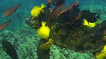 Green Turtle Totally Covered By Cleaner Fish