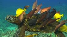 Green Turtle (Chelonia Mydas) Being Cleaned By Yello Tangs,Pale Nosed Parrot Fish And Surgeon Fish