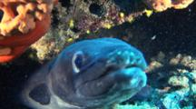 Conger Eel Hides Under Ledge