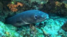 Conger Eel Hides Under Ledge