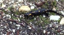 Fire Salamander Feeding
