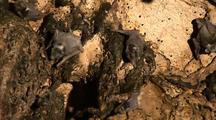 Nursery Roosts In Bat Colony