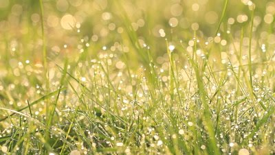 Morning dew sparkles on grass,very slow pan