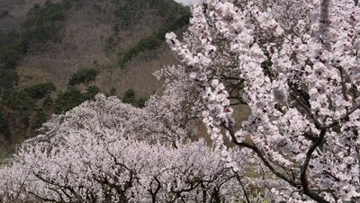 blooming apricot trees,Anzu No Sato