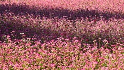 Red Buckwheat Field