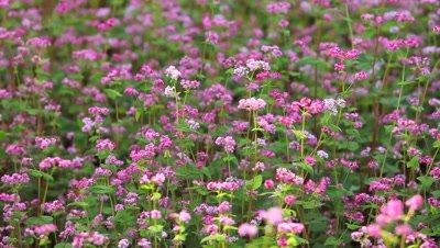 close up,Red Buckwheat Field