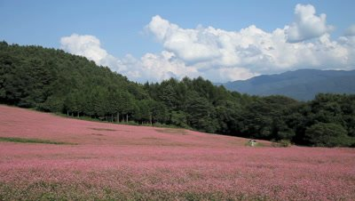 Red Buckwheat Field with coniferous forest behind