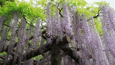 Looking Up At Japanese Wisteria