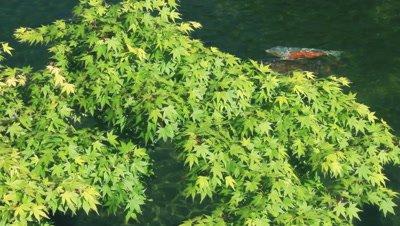 Japanese Maple Above Koi Pond