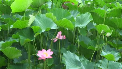 rain falling on Oga,Sacred Lotus