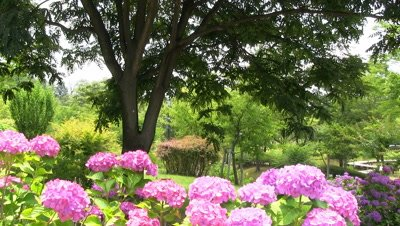 Purple Hydrangea Flowers in garden