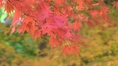 Japanese Maple Tree In Fall Foliage