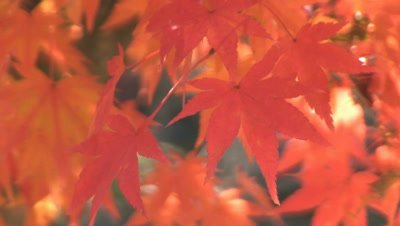 close up,sunlight reflects on red Japanese Maple In Fall Foliage