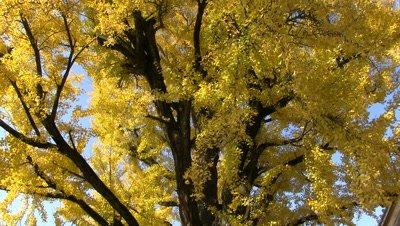 Ginkgo Biloba with Fall Foliage