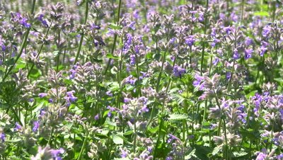Catmint herb in garden