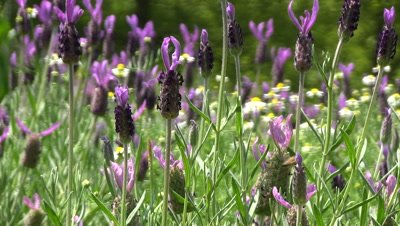 bees on French Lavender flowers