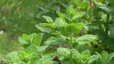 Apple mint in herb garden