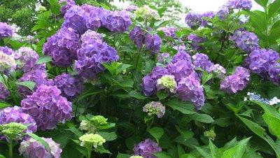 Hydrangea flowers in garden