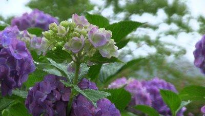 Close up Hydrangea flowers in garden