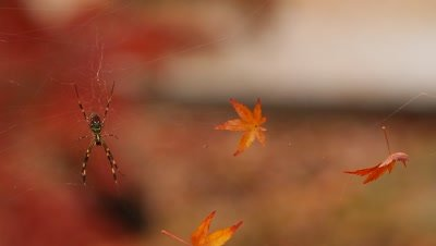 Spider and maple leaves in web