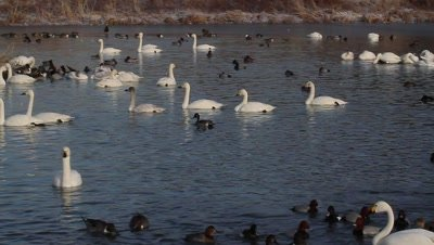 Eurasian Wigeons and Tundra Swans in Lake,Nagano Prefecture,Japan