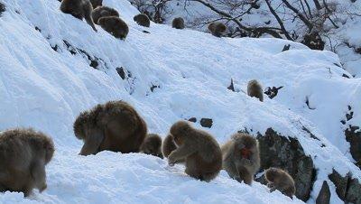 Japanese Snow Monkeys Browse in snowy Landscape