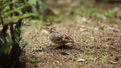 Skylark bird feeds on ground
