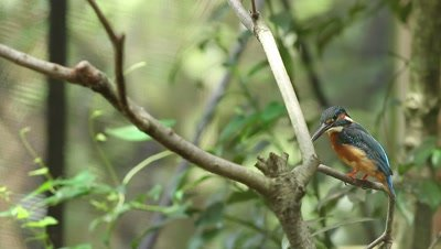Common Kingfisher perched in forest
