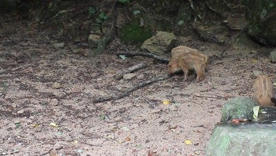 Wild boar piglets at edge of forest