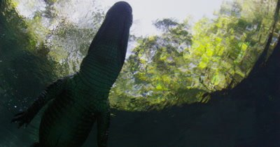 alligator floats on surface camera pans up
