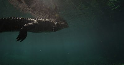 alligator lying in wait on surface