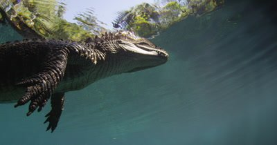 alligator lying in wait on the surface