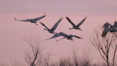 Greater Sandhill Cranes flying over the Alachua Sink at sunset