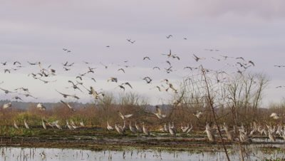Large group of Greater Sandhill Cranes foraging and feeding at Alachua Sink takes flight