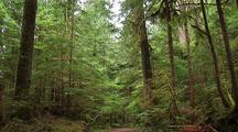 Hiking Trail Through Temperate Rainforest
